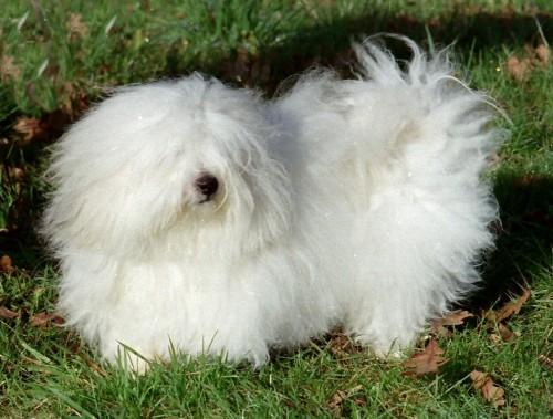 chien coton race,coton  de tulear